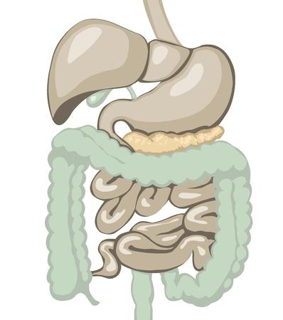 układ pokarmowy: ilustracja ukÅ'adu pokarmowego warstwach oddzielonych