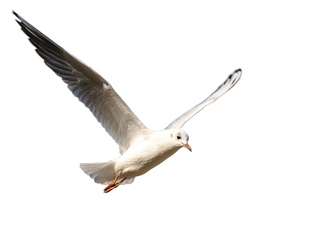Seagull in flight with wings spread  isolated on white Stock Photo - 13322324
