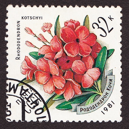 USSR - CIRCA 1981  A post stamp printed in USSR shows Rhododendron kotschi, circa 1981