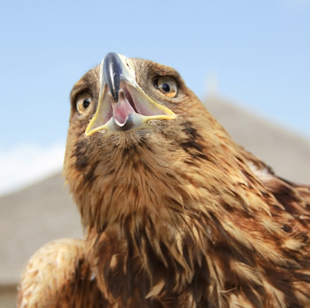 spread eagle: Eagle head on blue sky background  Close up Stock Photo