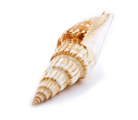 conch: Sea shell isolated on white background  Close up