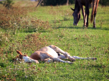 Foal lying on summer pasture photo