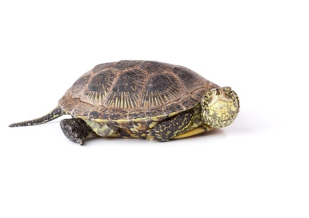 tardy: Funny looked turtle isolated on white background