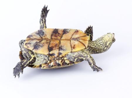 tortuga: Turtle boca abajo sobre la espalda aislado en blanco Foto de archivo