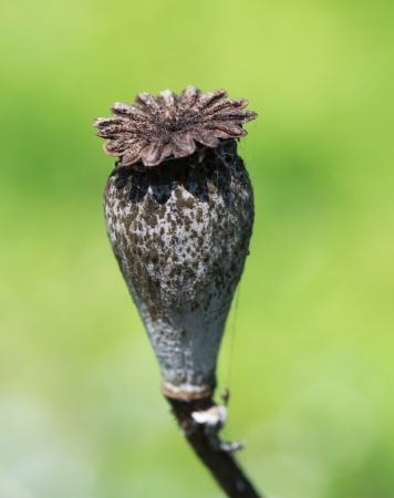 Dry poppy flower close up photo