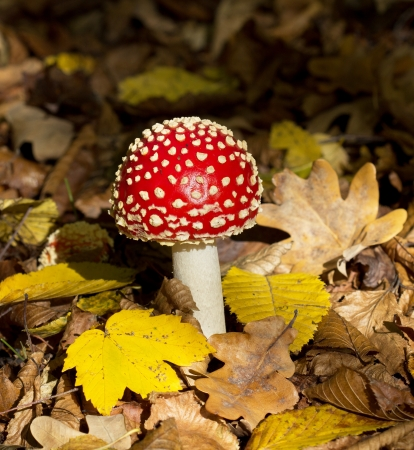 outumn: Amanita  agaric  mushroom on outumn leaves background Stock Photo