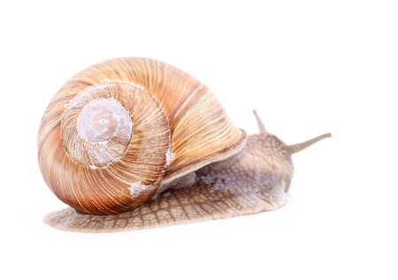 Burgundy snail (Helix  Pomatia) isolated over white Stock Photo - 20192019