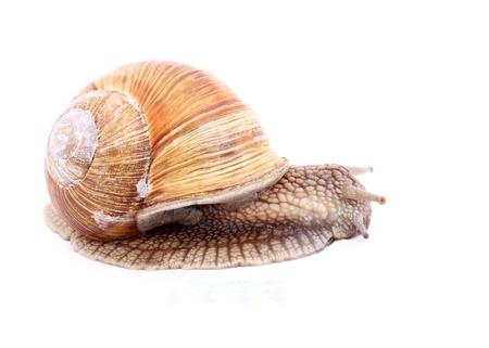Burgundy snail (Helix  Pomatia) isolated over white Stock Photo - 20192112