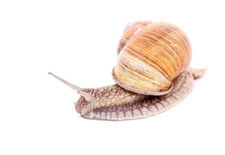 Burgundy snail (Helix  Pomatia) isolated over white Stock Photo - 20191973