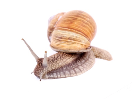 Burgundy snail (Helix  Pomatia) isolated over white Stock Photo - 20191983
