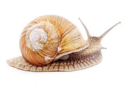 Burgundy snail (Helix  Pomatia) isolated over white Stock Photo - 20192107