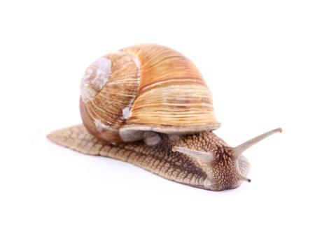 Burgundy snail (Helix  Pomatia) isolated over white Stock Photo - 20191962