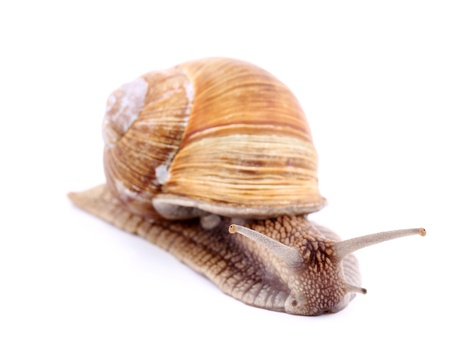 Burgundy snail (Helix  Pomatia) isolated over white Stock Photo - 20191996