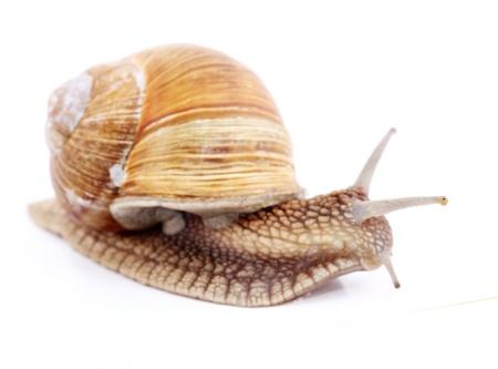 Burgundy snail (Helix  Pomatia) isolated over white Stock Photo - 20191998