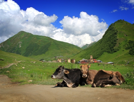 Cows lying on the ground on mountains background photo