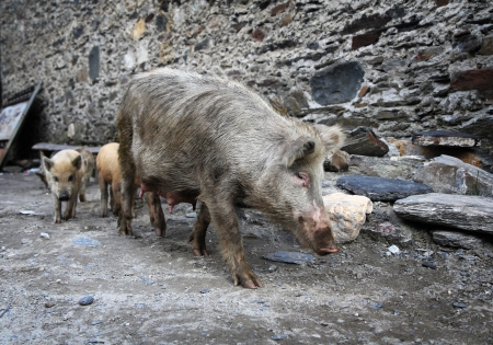 Pig with piglets on stone wall background photo
