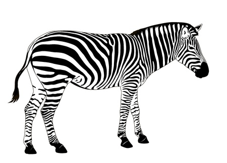 Illustration of  zebra. Vector EPS 8 Ilustracja