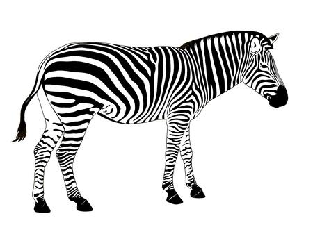 Illustration of  zebra. Vector EPS 8 Illustration