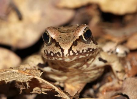 lessonae: Pool Frog (Pelophylax lessonae) sitting on the ground. Close up
