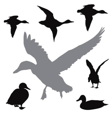 Kolekcja kaczek wektorowych Ilustracje wektorowe