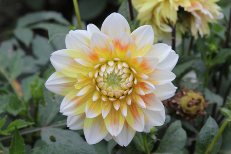 tri  color: Dahlia yellow white