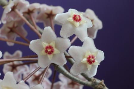 loach: Hoya carnosa