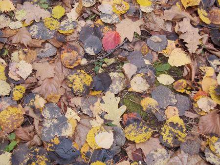 basswood: Autumn foliage