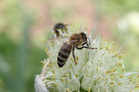 alliaceae: bee on onion flower