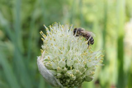 bee on flower: bee on a flower