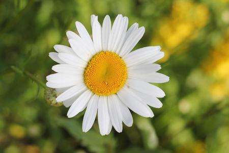 matricaria: chamomile Matricaria Stock Photo