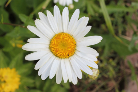 matricaria: Matricaria chamomile