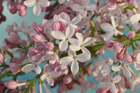 vulgaris: Syringa vulgaris Stock Photo