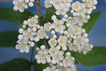 sorbus: Sorbus blooming