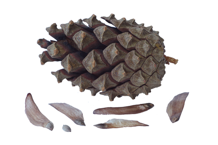 Pine cone: c�ne de pin isol�