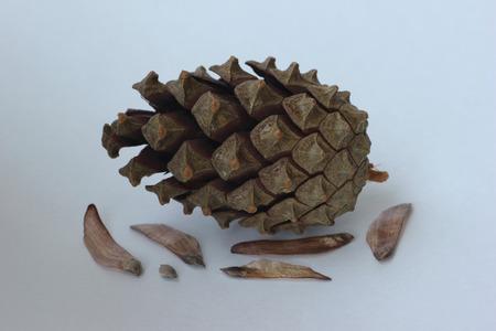 pomme de pin: pine cone
