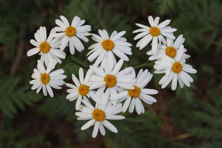 chamomile: chamomile flowers Stock Photo