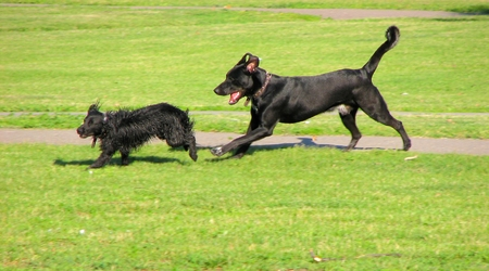 dogs runing photo