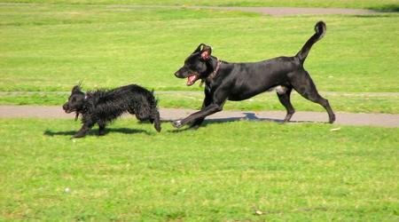 runing: dogs runing
