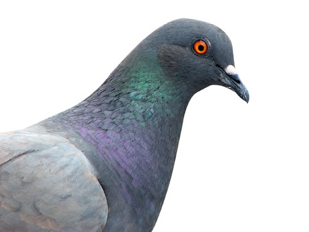 closeup pigeon isolated on the white background