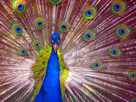 Peacock in Full Display blue green red yellow