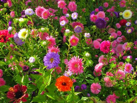 dahlia flower: Garden bed full of brightly coloured flowers