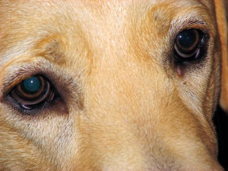 Closeup of the eyes of a labrador dog