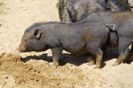 black pigs Stock Photo - 7604182