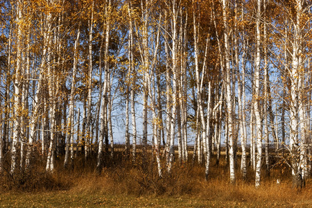 bosk: Birches with yellow autumn leaves Stock Photo