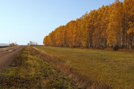 Forest belt along a rural road. Autumn