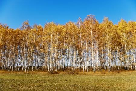 frondage: Autumn birch, blue sky