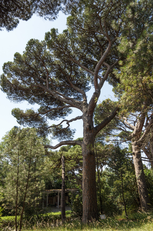 Russia, the Republic of Crimea, the city of Alupka. 06092018: Vorontsov Park. Italian pine - Pinia 版權商用圖片
