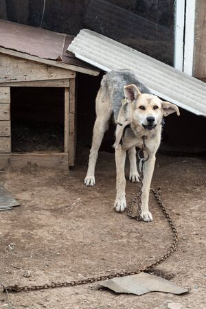 A chain dog near his kennel, in the courtyard of a rural house. Photo taken in Russia, in the countryside Reklamní fotografie