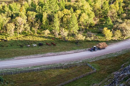 Herd of horses and a tractor with hay on the road. Rural autumn landscape. Russia, mountain Altai, Ongudaysky district, near the village of Bichiktu-Boom