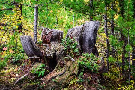 Old, mossy stump in the coniferous forest, overgrown with grass and loganberries. Altai Republic, Russia